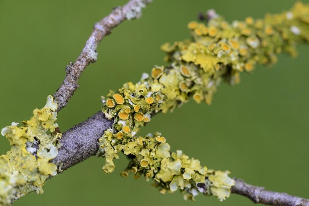 Gewöhnliche Gelbflechte (Xanthoria parietina)