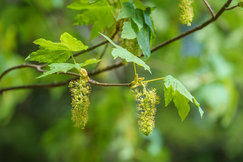 Berg-Ahorn (Acer pseudeplatanus)