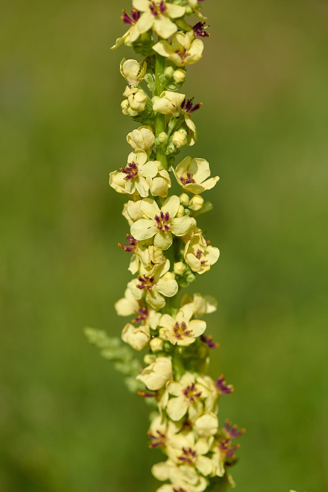 Dunkle Königskerze (Verbascum nigrum)