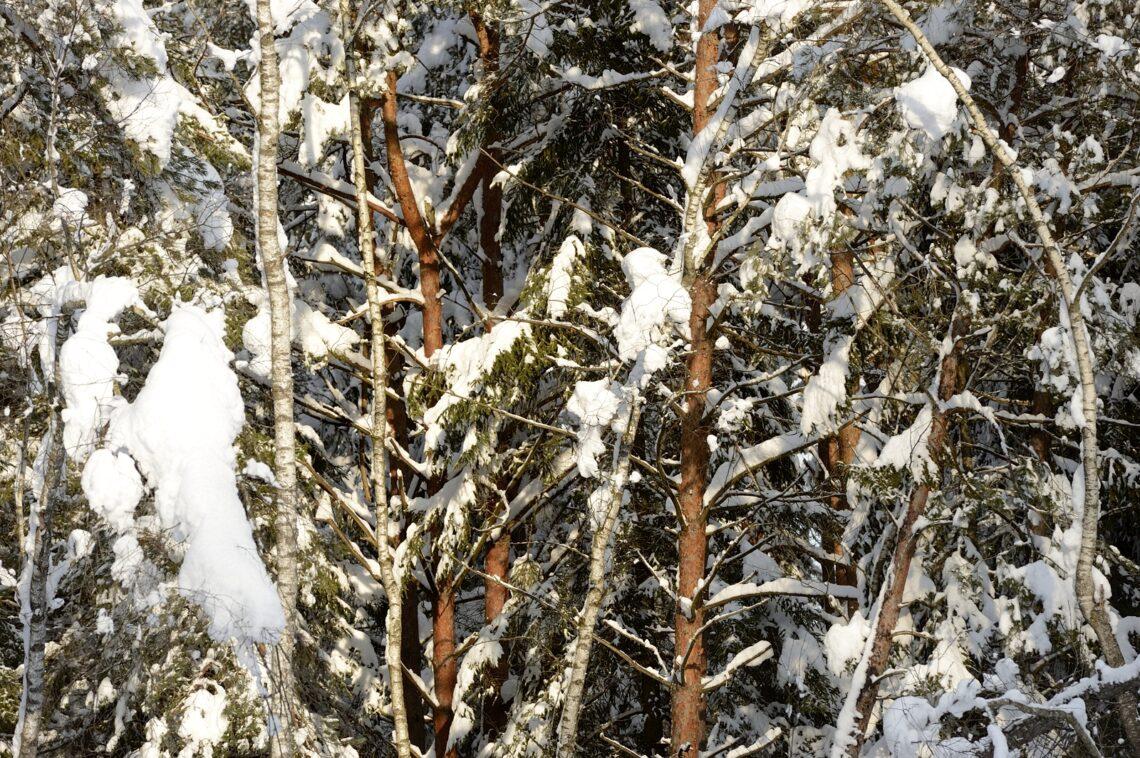 Birken und Föhren gedeihen auch unter extremen Bedingungen