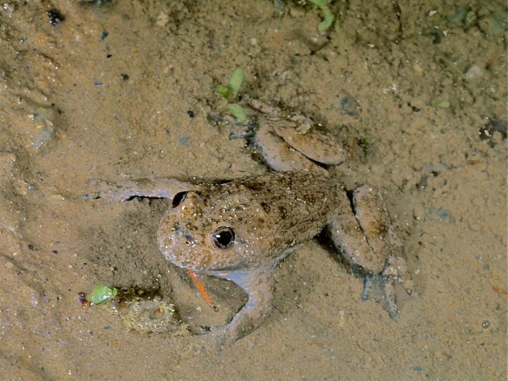 Gelbbauchunke-Männchen