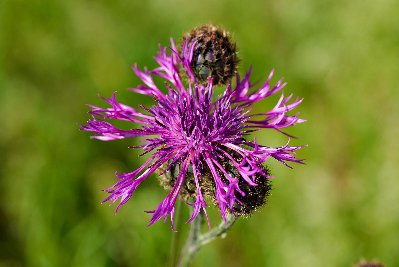 Blüte der Skabiosen-Flockenblume