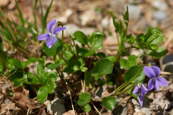 Hain-Veilchen (Viola riviniana) am Sädelrain