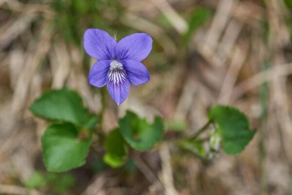 Wald-Veilchen (Viola reichenbachiana)