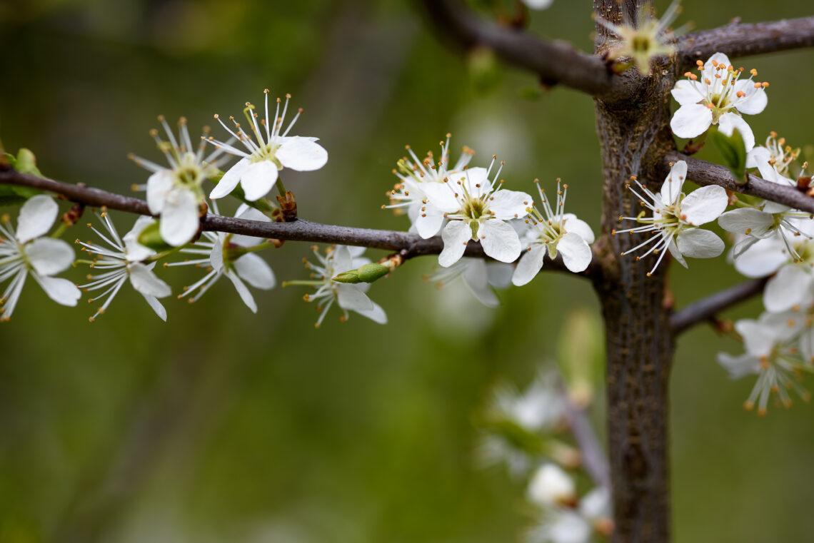 Schwarzdorn (Prunus spinosa)
