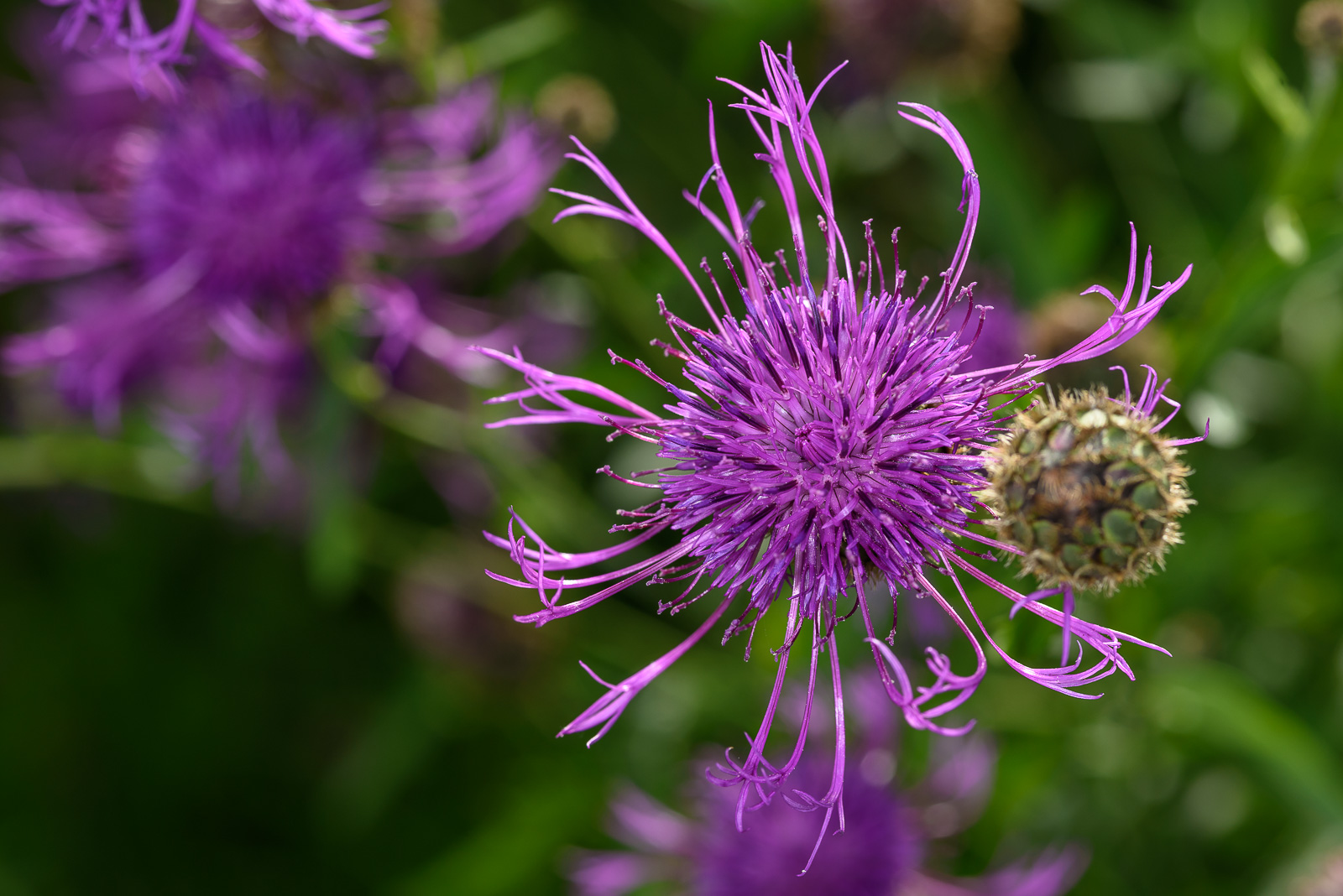 Skabiosen-Flockenblume (Centaurea scabiosa)