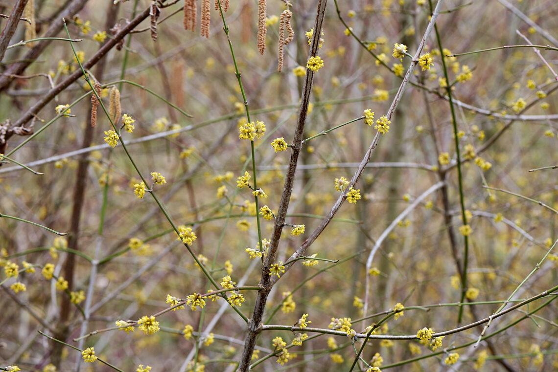 Blütenstand der Kornelkirsche (Cornus mas) vor dem Blattaustrieb