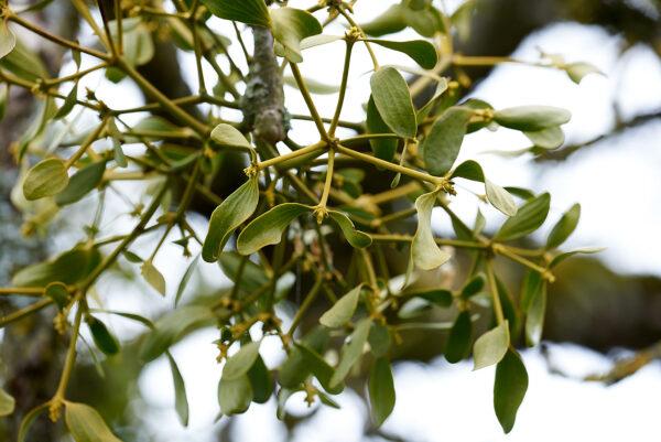 Mistel (Viscum album) auf einem Obstbaum bei Ricketwil