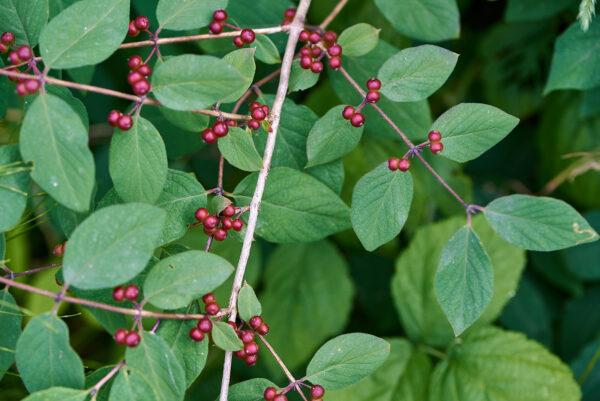 Rote Heckenkirsche (Lonicera xylosteum)