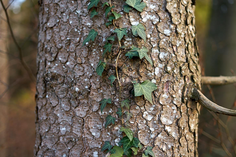 Fichte (Picea abies)