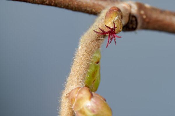 Haselstrauch (Corylus avellana) mit weiblichen Blüten