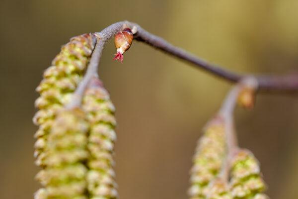 Haselstrauch (Corylus avellana) mit weiblichen Blüten und männlichen Blüten