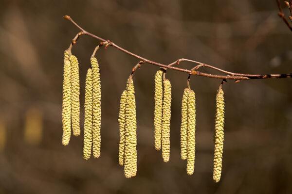 Haselstrauch (Corylus avellana) mit männlichen Blüten