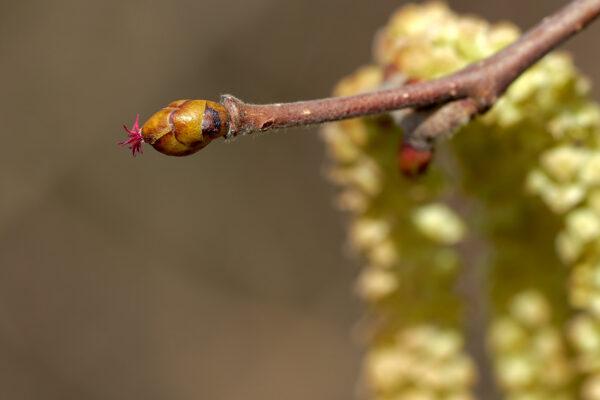 Haselstrauch (Corylus avellana) mit weiblichen Blüten (vorne) und männlichen Blüten im Hintergrund