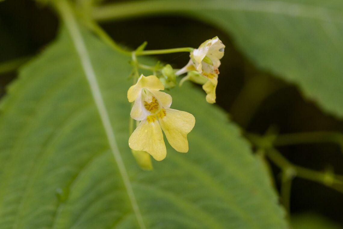 Kleines Springkraut (Impatiens parviflora)