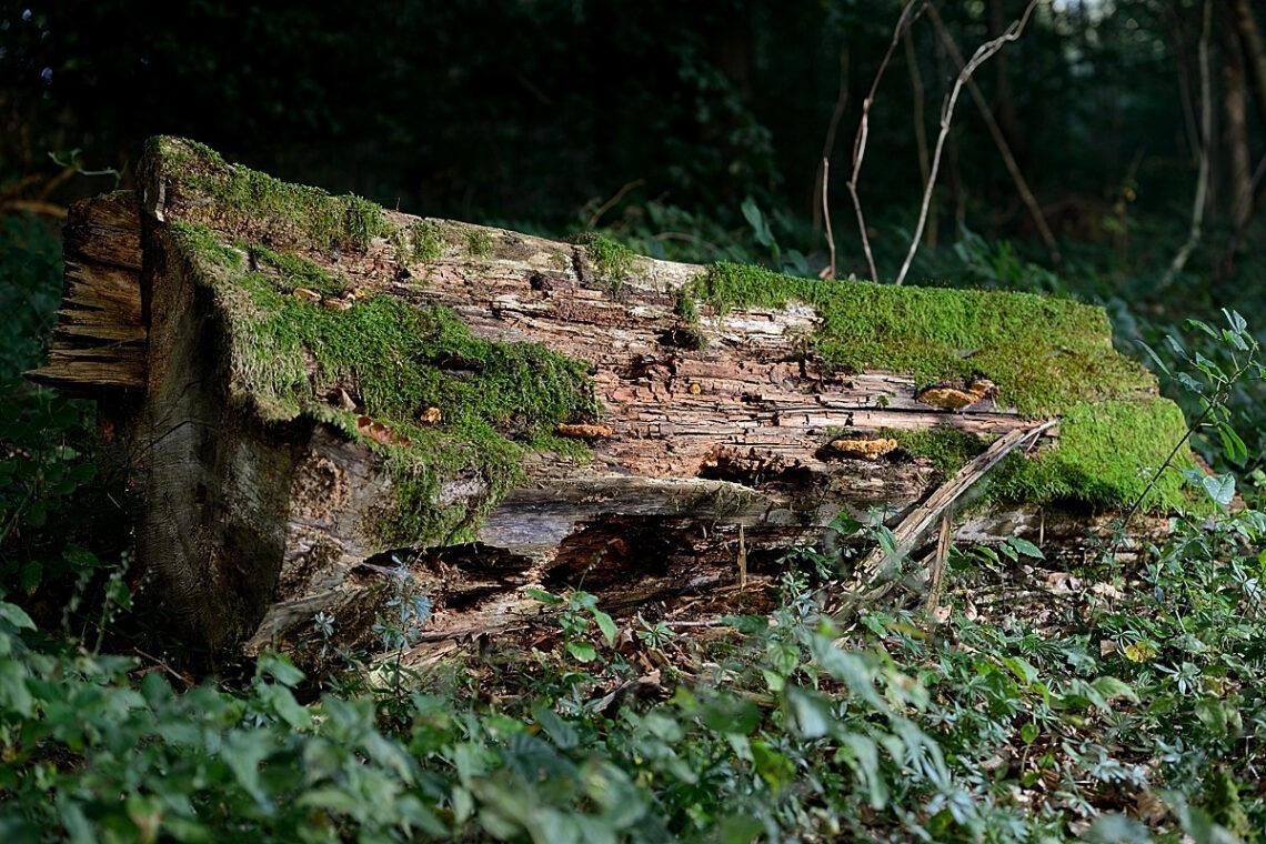Totholz an der Tobelrütistrasse
