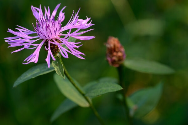 Wiesen-Flockenblume (Centaurea jacea) am Berenberg