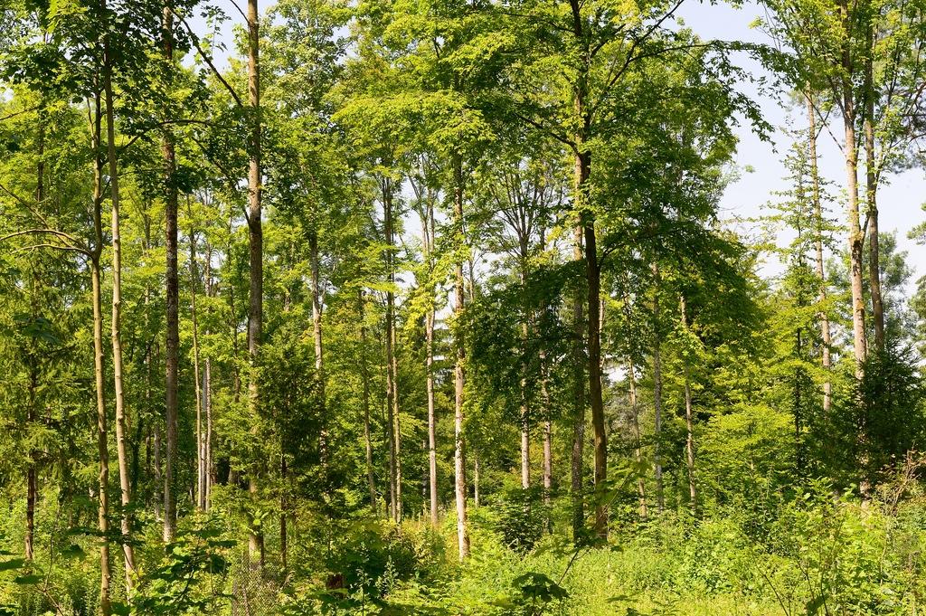 Neuer Mittelwald im Gebiet Hardholz (Fotos: Michael Wiesner)
