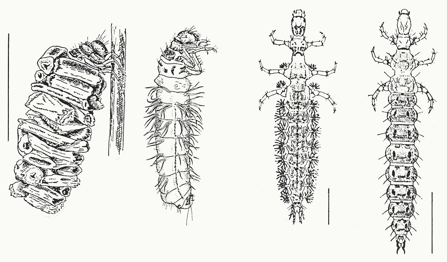 Weiße Köcherfliegenlarve