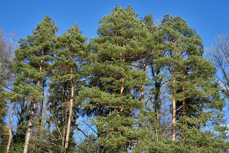 Wald-Föhre (Pinus sylvestris)