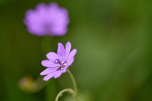 Pyrenäen-Storchschnabel (Geranium pyrenaicum)