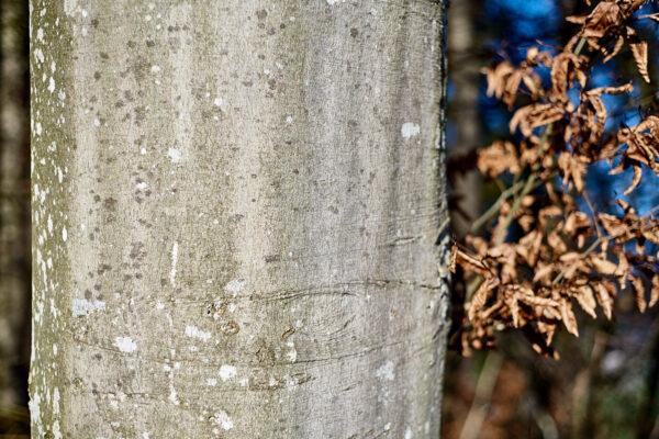 Stamm einer ausgewachsenen Rotbuche (Fagus sylvatica)
