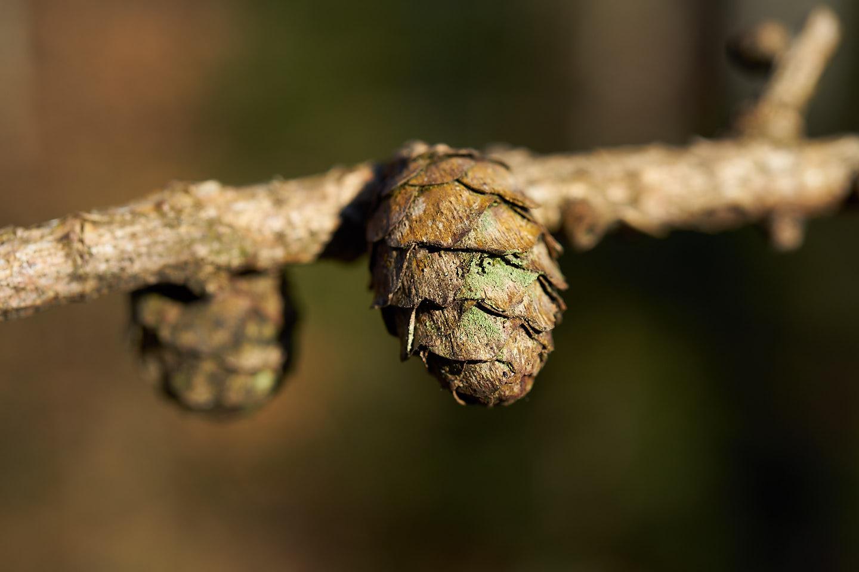 Europäische Lärche (Larix decidua)