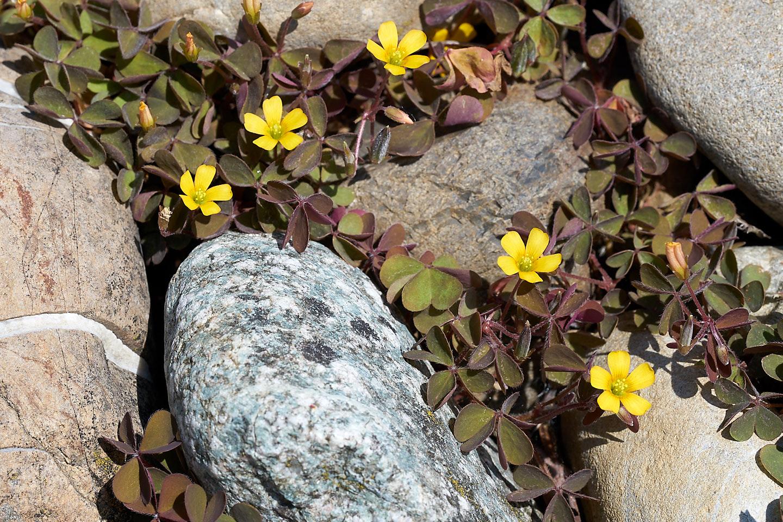 Hornfrüchtiger Sauerklee (Oxalis corniculata)