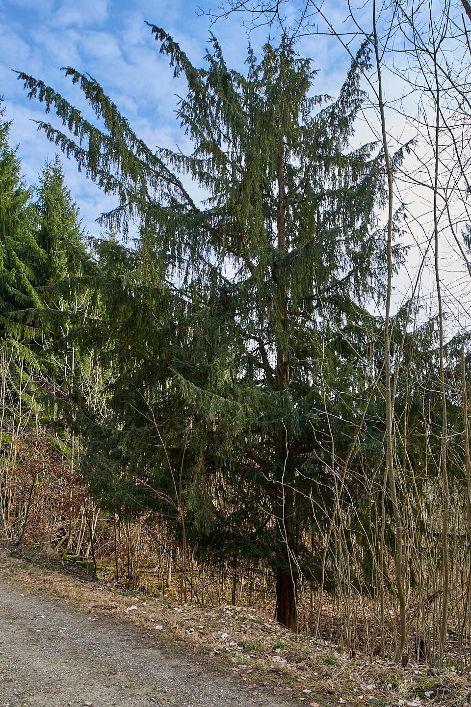 Europäische Eibe (Taxus baccata)