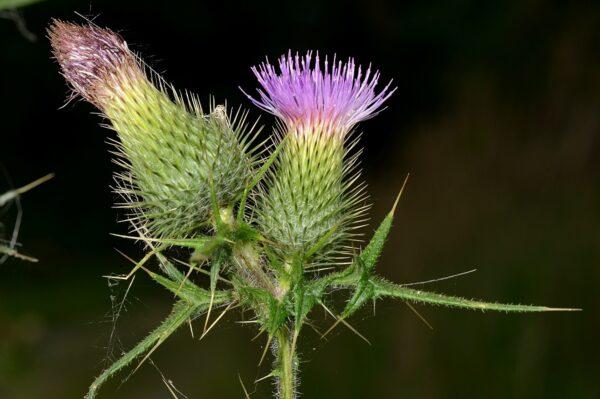 Gewöhnliche Kratzdistel (Cirsium vulgare): Nahrungspflanze für den Distelfalter