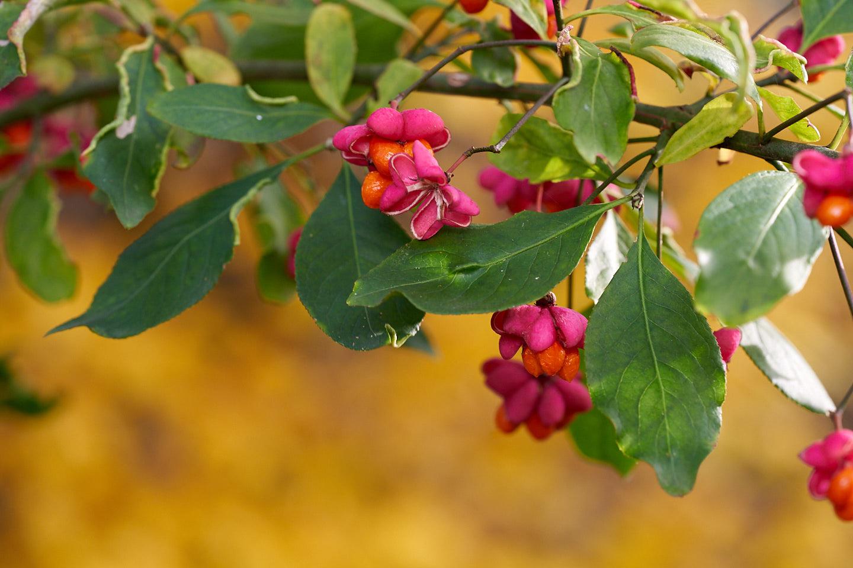 Gemeines Pfaffenhütchen (Euonymus europaeus)