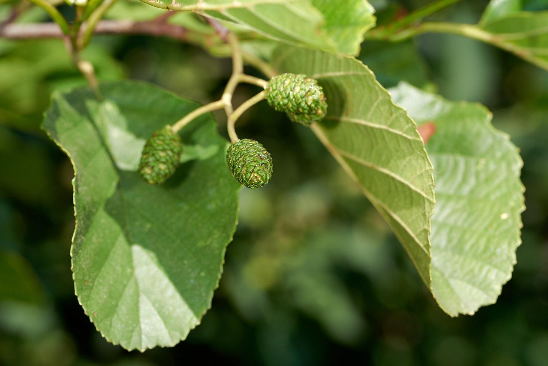 Blätter und unreife Fruchtstände der Schwarz-Erle (Alnus glutinosa)