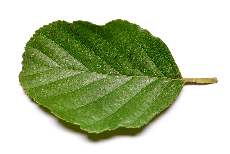Blatt (Vorderseite) der Schwarz-Erle (Alnus glutinosa)