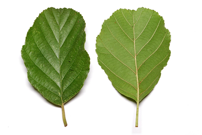 Blatt (Vorderseite und Rückseite) der Schwarz-Erle (Alnus glutinosa)