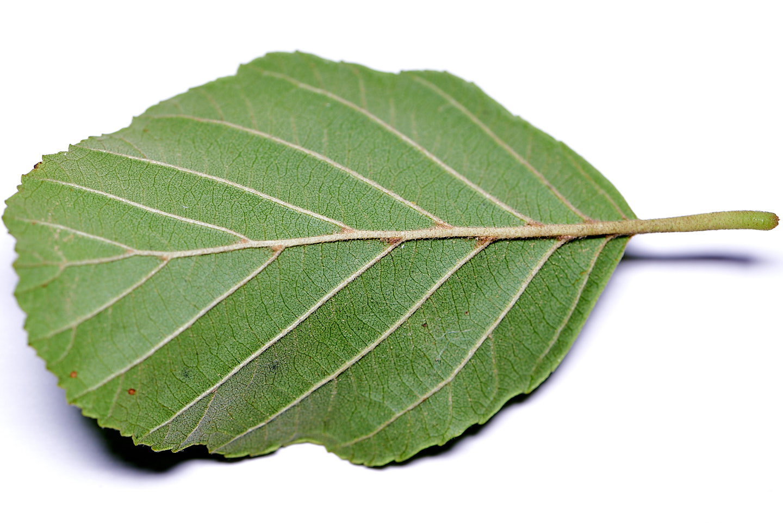 Blatt (Rückseite) der Schwarz-Erle (Alnus glutinosa)