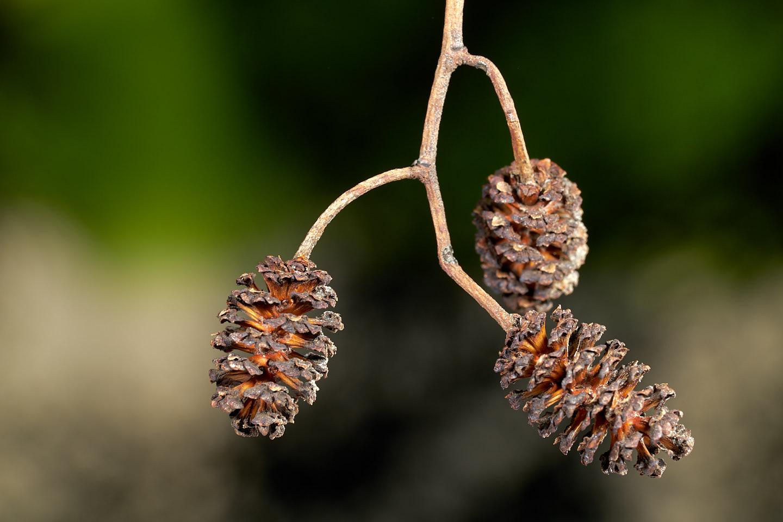 Reife Fruchtstände der Schwarz-Erle (Alnus glutinosa)