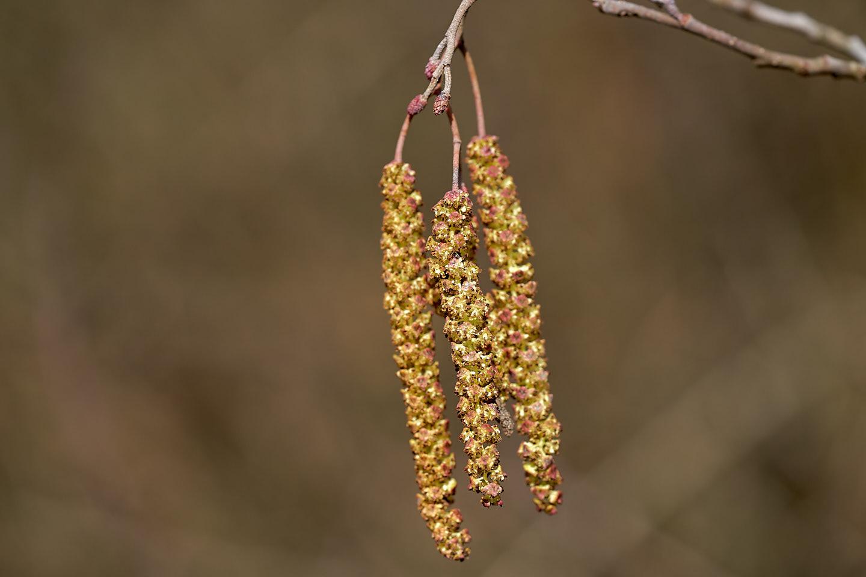 Männliche und weibliche Blüten der Schwarz-Erle (Alnus glutinosa)