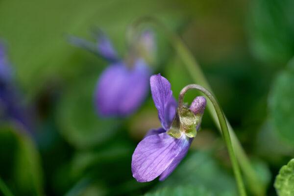 Wohlriechendes Veilchen (Viola odorata)