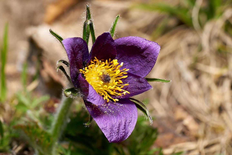 Gemeine Kuhschelle (Pulsatilla vulgaris)