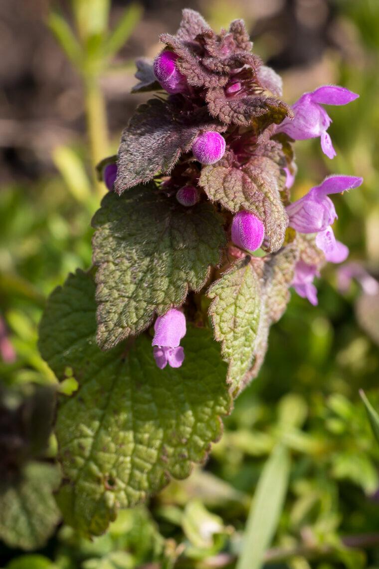Purpurrote Taubnessel (Lamium purpureum)