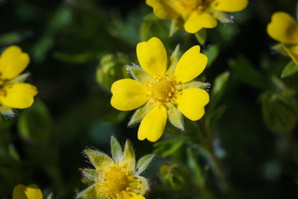 Frühlings-Fingerkraut (Potentilla verna)