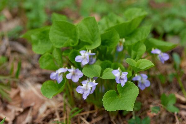 Wunder-Veilchen (Viola mirabilis)