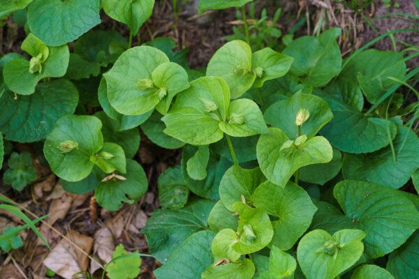 Wunder-Veilchen (Viola mirabilis) im Juni