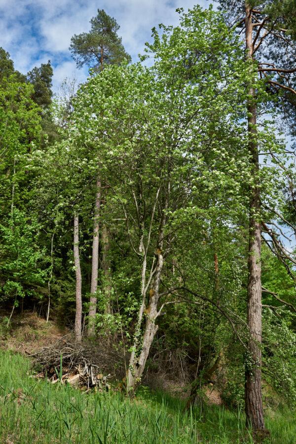Echter Mehlbeerbaum (Sorbus aria)