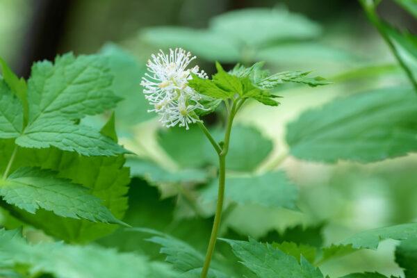 Ähriges Christophskraut (Actaea spicata)