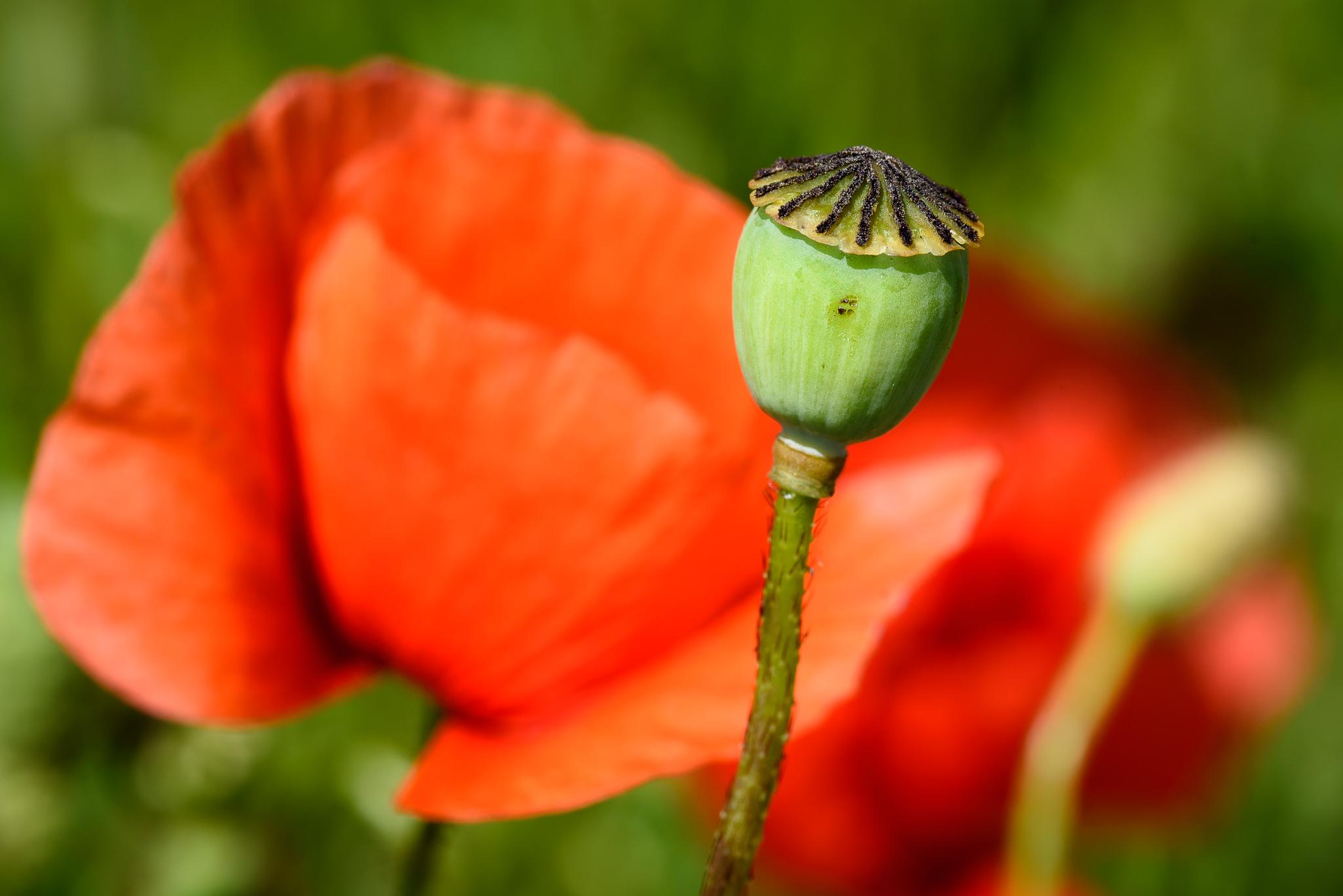 Foto einer Fruchtkapsel des Klatschmohns