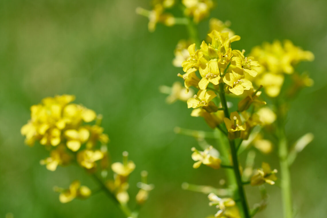 Gemeine Winterkresse (Barbarea vulgaris)