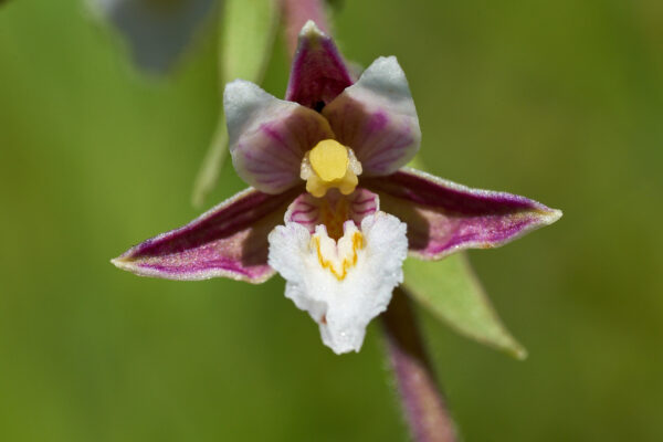 Sumpf-Stendelwurz (Epipactis palustris)