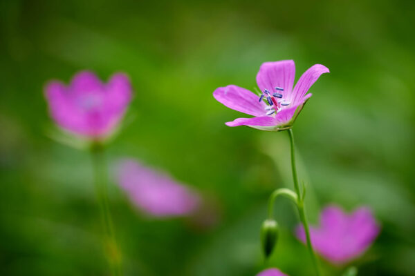 Sumpf-Storchschnabel (Geranium palustre)