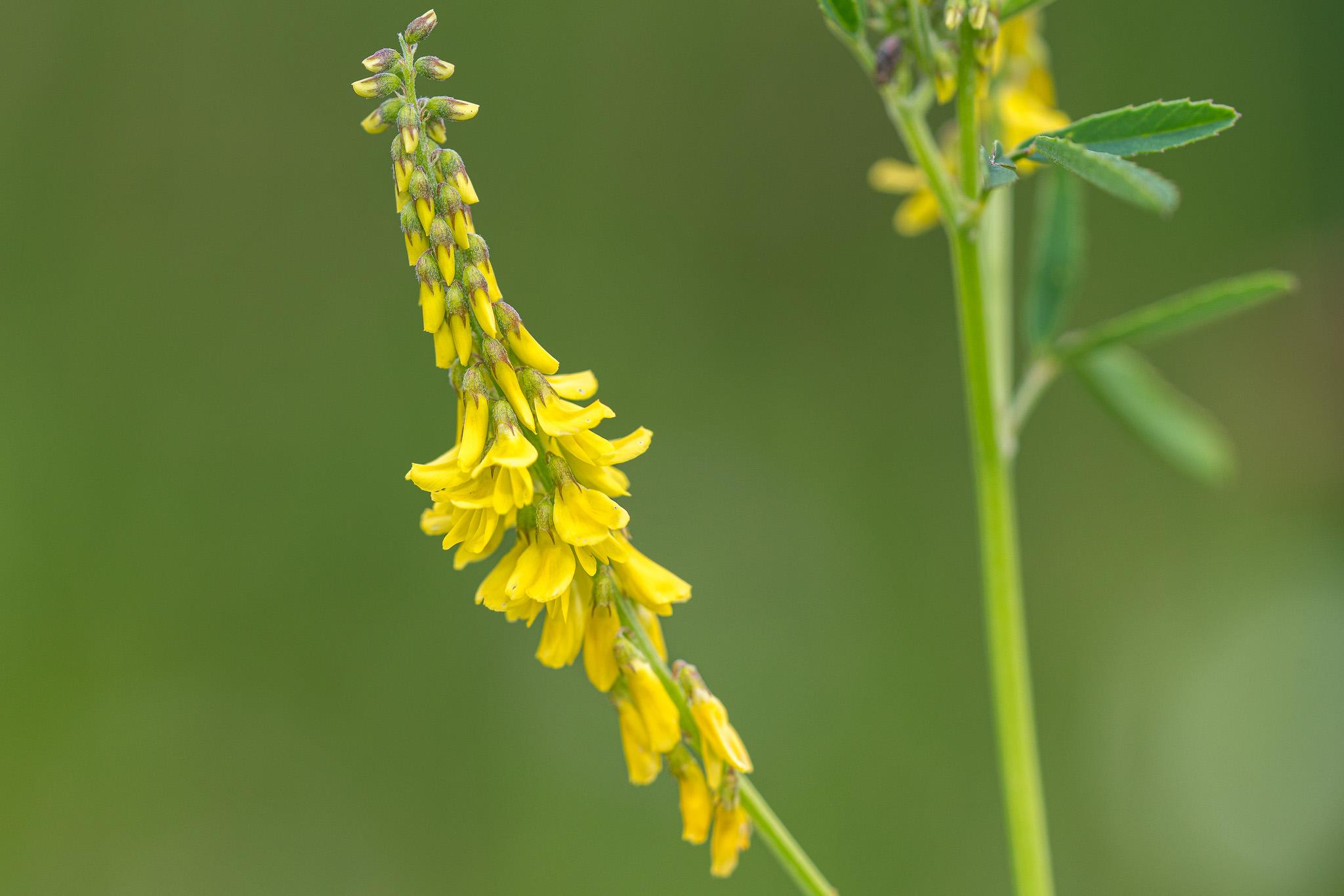 Echter Honigklee (Melilotus officinalis)